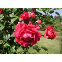 Роза Пол Скарлет (плетистая)