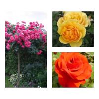Комплект Р2-3 саженца (Штамбовые розы Ремембрэнс, Розариум Ютерзен, Эмбер Куин)