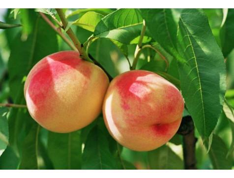 Персик Крымская осень