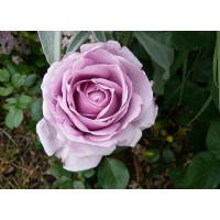 Роза Ля Роз дю Пети Принс (шраб)