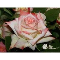 Роза Императрица Фарах(чайно-гибридная)