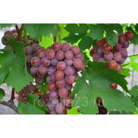 Виноград Сиреневый туман
