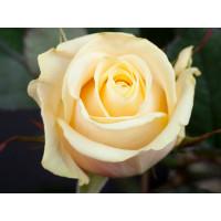 Роза Талея(чайно-гибридная)