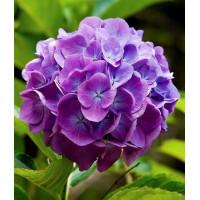 Гортензия Magical Flamenco blue (крупнолистная)