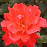 Роза Александр(чайно-гибридная)
