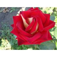 Роза Влюбель(чайно-гибридная)