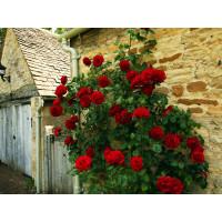 Роза Черный Букет (плетистая)