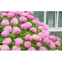 Гортензия Уайт пинк ( White pink ) (крупнолистная)