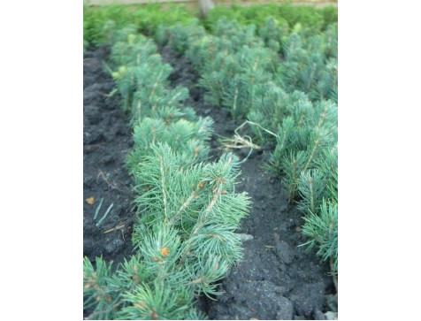 Ель голубая (сеянец до 12 см)