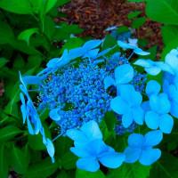Гортензия Blue Bird (крупнолистная)
