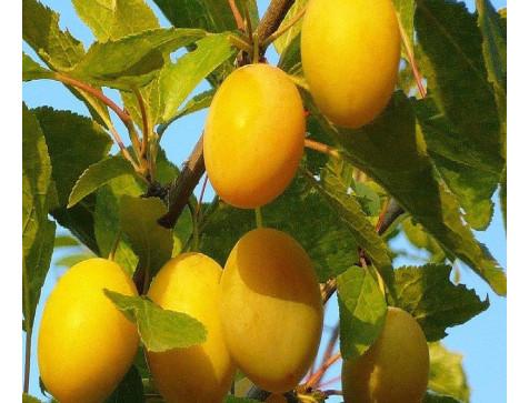 Слива Золотая Капля (Средняя/Желтая)