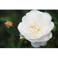 Роза Айсберг (флорибунда)