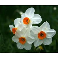 Нарцисс гераниум